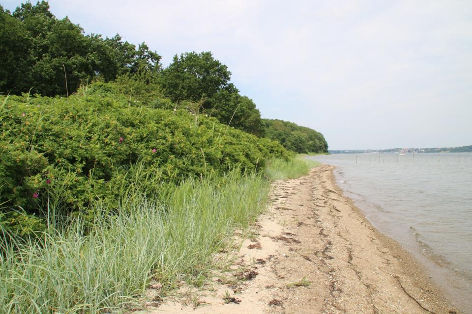Колосняк песчаный (дат. Marehalm, лат. Leymus arenarius), Колдинг, Дания. Фото 12 июл. 2021