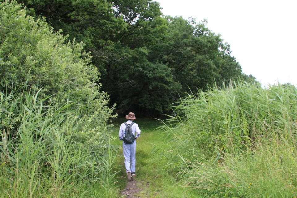 Тростник южный (дат. Tagrør, лат. Phragmites australis). Lille bælt. Фото 12 июл. 2021, Дания