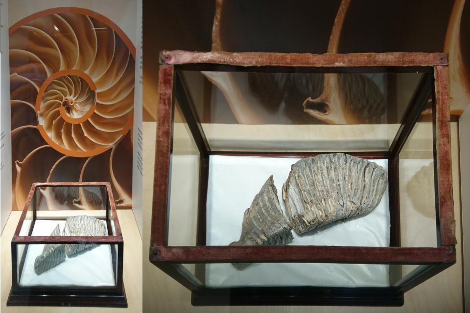 Зуб мамонта. Музей естественной истории Орхус, Дания (Naturhistorisk Museum Aarhus). Фото 29 авг. 2021