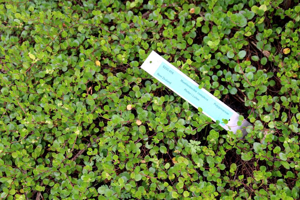 Цветущая Мюленбекия спутанна в ботаническом сад г. Орхус, Дания. Фото 4 авг. 2021