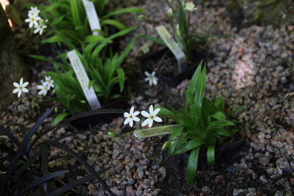 Гипоксис (Hypoxis parvula var. albiflora 'Hebron Farm Biscuit'). Сад Йенс Кёэ (Jens Kjøge), Ørnegårdsvej 17, Хойбьерг, Дания. Фото 30 июн. 2018