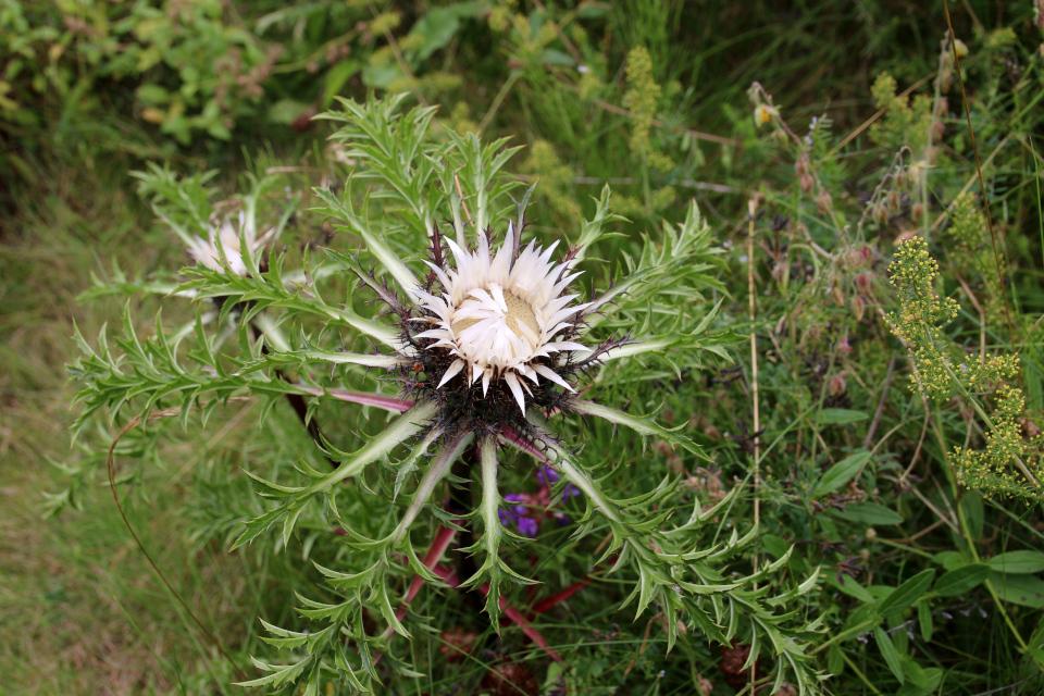 Колючник бесстебельный (дат. sølv bækketidsel, лат. Carlina acaulis). Ботанический сад Орхус 4 августа 2021, Дания