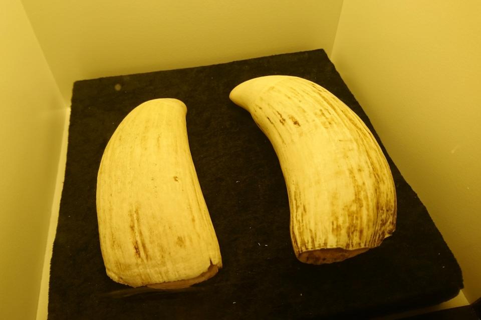 Зубы кита. Музей естественной истории Орхус, Дания (Naturhistorisk Museum Aarhus). Фото 29 авг. 2021