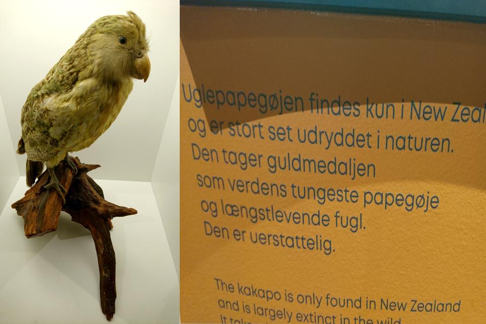 Какапо совиный попугай (дат. uglepapegøje, лат. Strigops habroptila). Музей естественной истории Орхус, Дания (Naturhistorisk Museum Aarhus). Фото 29 авг. 2021