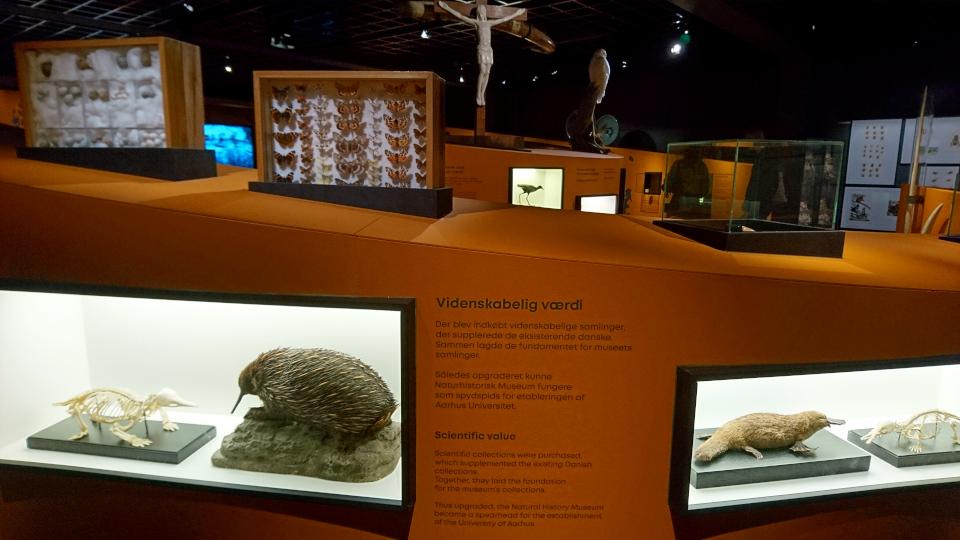 Ехидна, уктонос. Музей естественной истории Орхус, Дания (Naturhistorisk Museum Aarhus). Фото 29 авг. 2021