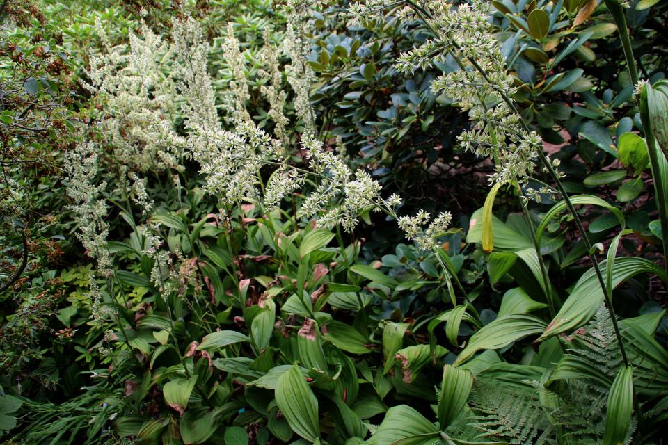 Чемерица белая (дат. Hvid foldblad, лат. Veratrum album) в ботаническом сад г. Орхус, Дания. Фото 4 авг. 2021