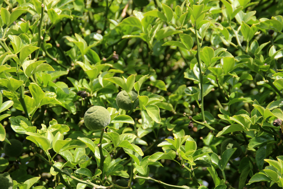 Понцирус трёхлисточковый (дат. dværgcitron, лат. Citrus trifoliata или Poncirus trifoliata) в ботаническом сад г. Орхус, Дания. Фото 4 авг. 2021
