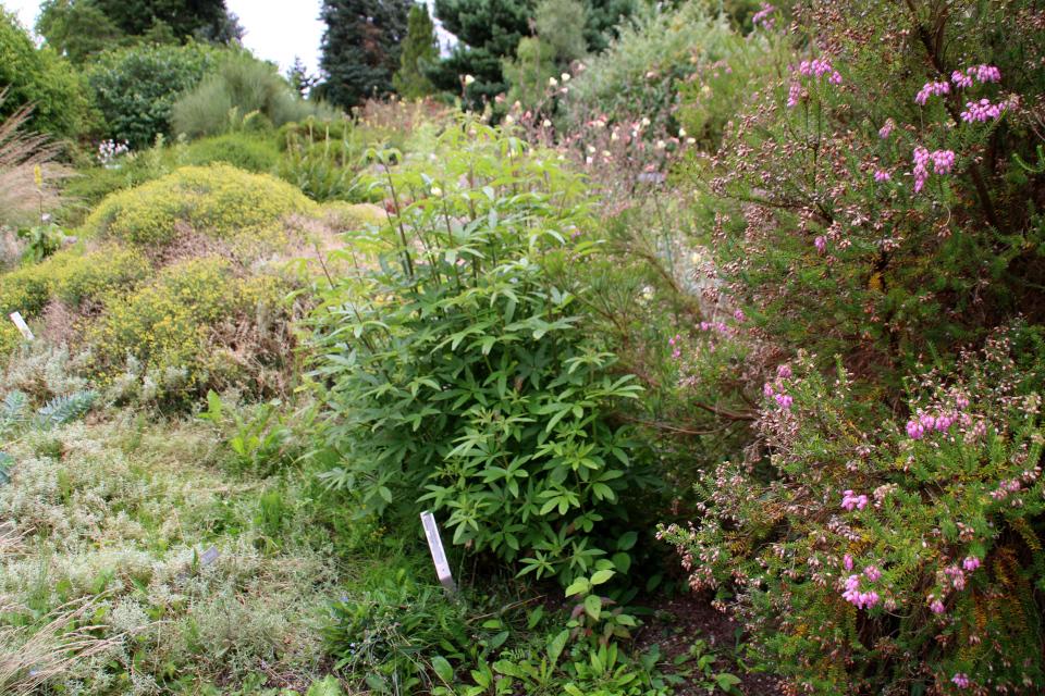Витекс священный или авраамово дерево (дат. Kyskhedstræ, лат. Vitex agnus-castus). Ботанический сад Орхус 4 августа 2021, Дания