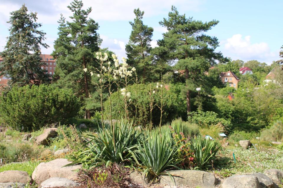 Юкка нитчатая (дат. Trævlet palmelilje, лат. Yucca filamentosa) на каменистых горках ботанического сада г. Орхус, Дания. Фото 4 авг. 2021