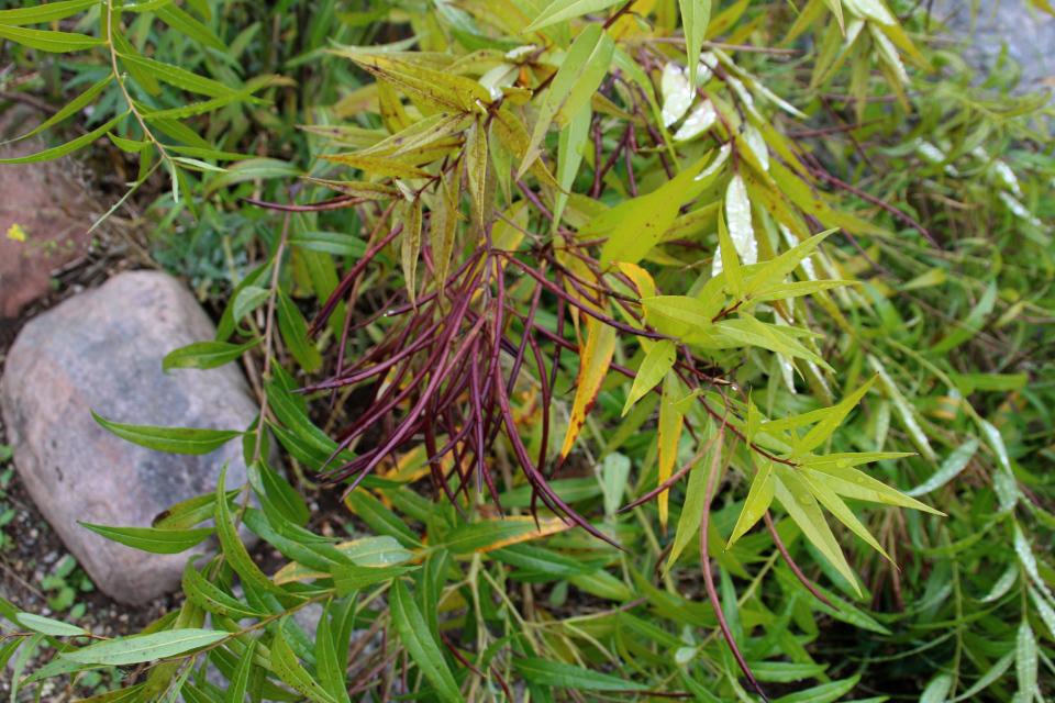 Амсония табернемонтана - плоды. Фото 18 сентября 2021, Ботанический сад, г. Орхус, Дания