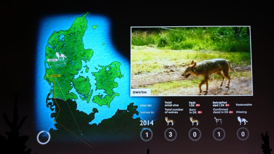 2014 - Волки в Дании, музей естественной истории Орхус (Dansker med Ulve, Naturhistorisk Museum), Дания. Фото 29 авг. 2021