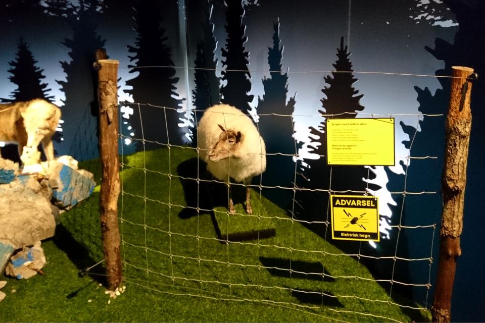 Овца за оградой. Волки в Дании, музей естественной истории Орхус (Dansker med Ulve, Naturhistorisk Museum), Дания. Фото 29 авг. 2021
