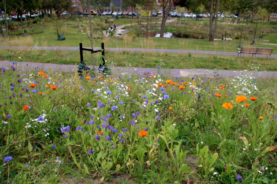 Календула, васильки. Городские огороды. Дождевой парк Спарк (Spark rain park, Marselisborg center), Орхус, Дания. Фото 2 сент. 2021