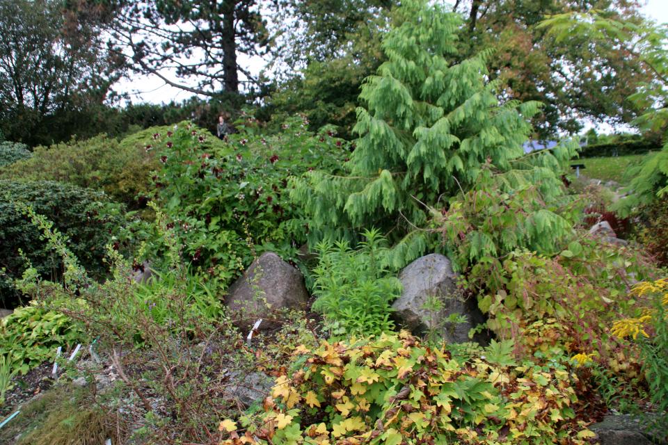 Диоскорея ниппонская и Курчавка грушелистная ботаническом саду, г. Орхус, Дания. Фото 18 сентября 2021, Дания