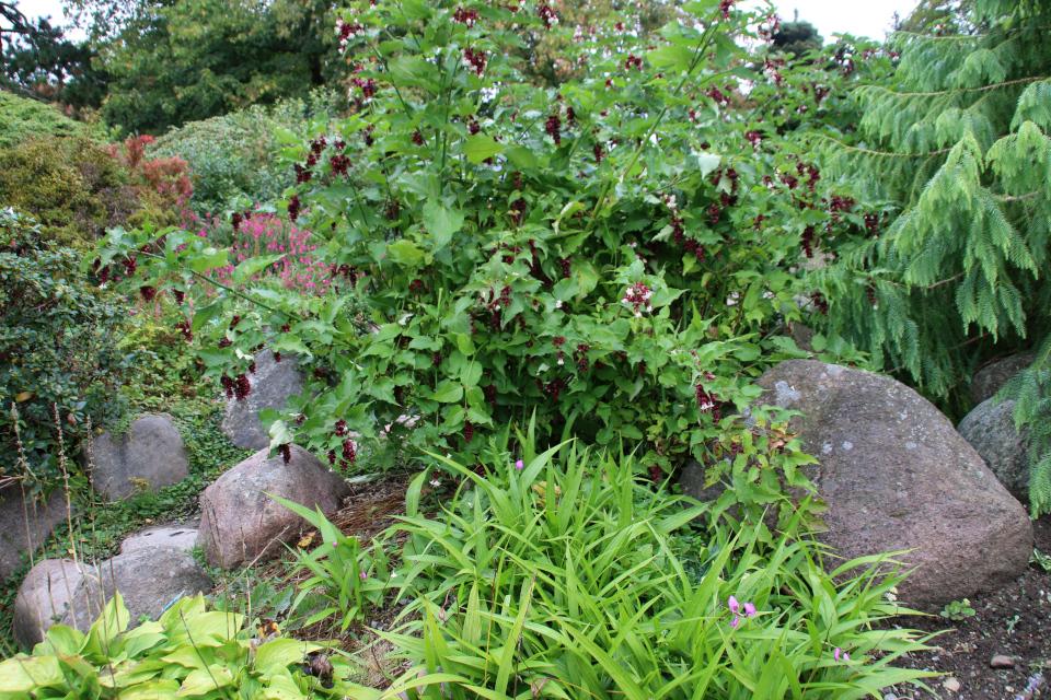 Лейцестерия прекрасная и Блетилла полосатая в ботаническом саду, г. Орхус, Дания. Фото 18 сентября 2021, Дания