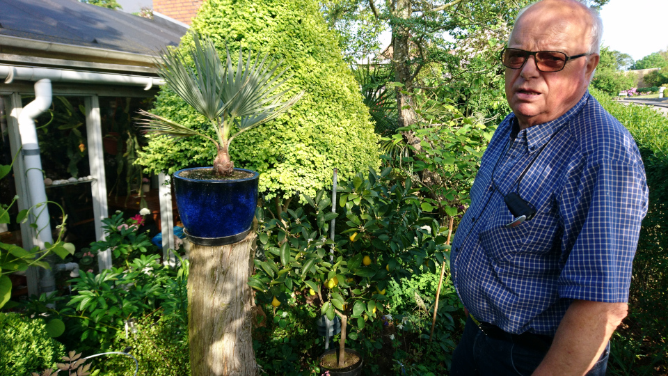 Пальма брахея (Mexican Blue Palm, лат. Brahea armata). Сад Йенс Кёэ (Jens Kjøge have). Ørnegårdsvej 17, Хойбьерг, Дания. Фото 2 июн. 2019