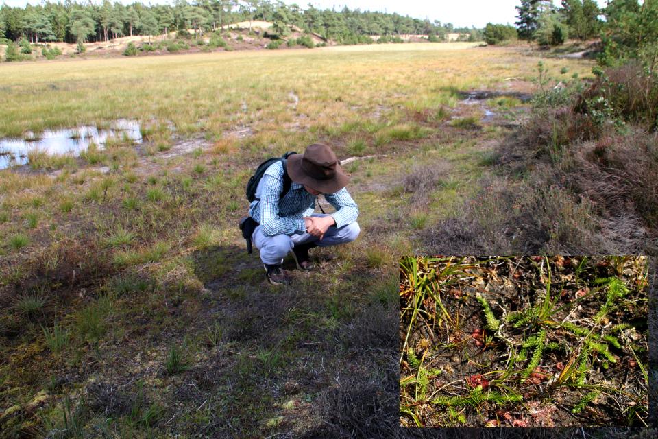 Плаун годичный (дат. Ulvefod, лат. Lycopodium annotinum), Семилетние озера в Рандбёл, Дания. Фото 24 авг. 2021