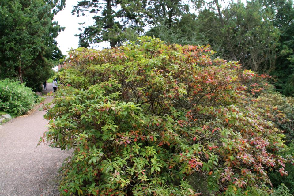 Рододендрон жёлтый / понтийская азалия. Ботанический сад Орхус 18 сентября 2021, Дания