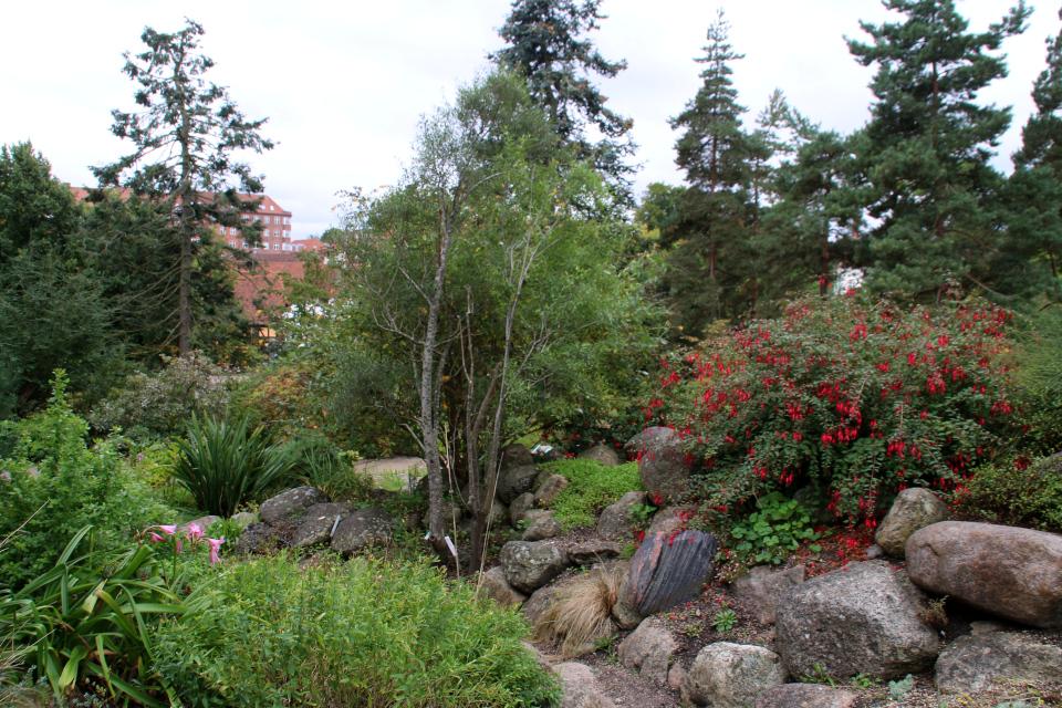Фуксия (справа), майтенус бычий (в центре), амариллис белладонна (слева) в ботаническом саду, г. Орхус, Дания. Фото 18 сентября 2021, Дания
