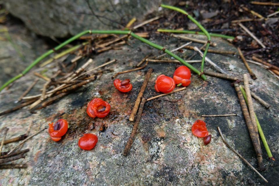 Плоды с семенами - хвойник американский. Фото 18 сентября 2021, Ботанический сад, г. Орхус, Дания