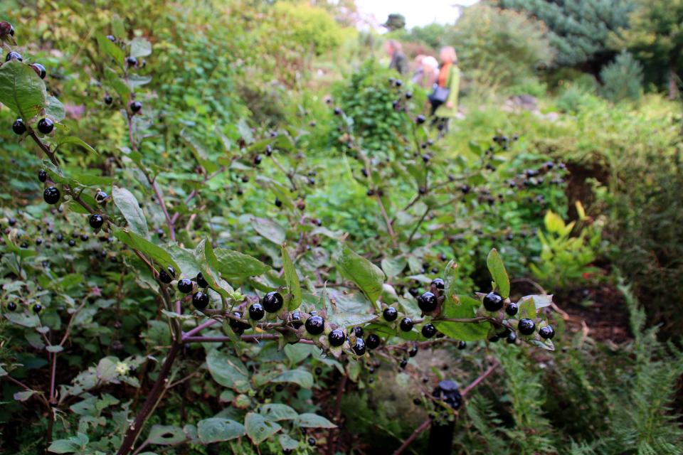 Белладонна с плодами в ботаническом саду, г. Орхус, Дания. Фото 18 сентября 2021, Дания