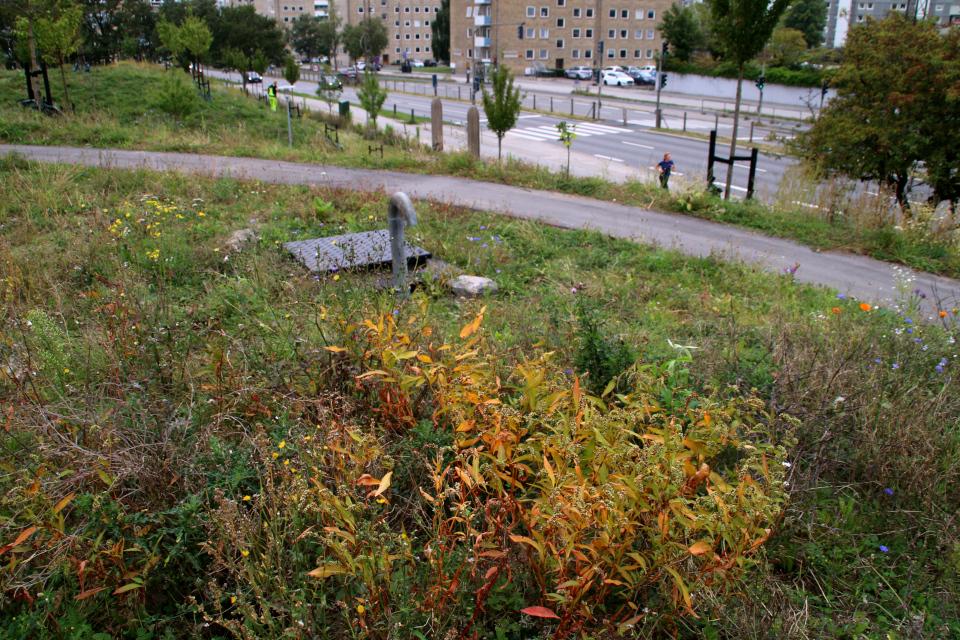Горец развесистый. Экстремальный натурализм. Дождевой парк Спарк (Spark rain park, Marselisborg center), Орхус, Дания. Фото 2 сент. 2021