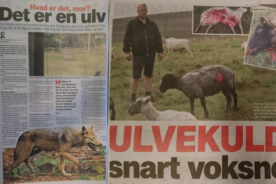 Волки в Дании, статьи из газет 17 мая 2020 и 30 янв. 2020