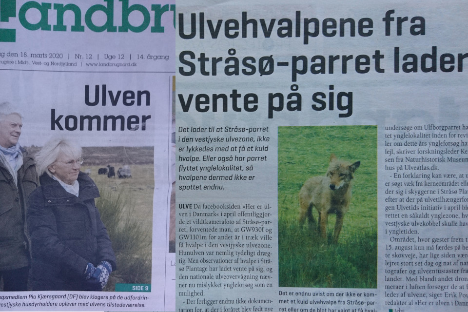 Волки в Дании, статьи из газет 18 март. 2020 и 30 янв. 2020