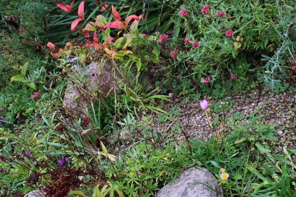 Цветущие кентрантус красный, эригерон и безвременник в ботаническом саду, г. Орхус, Дания. Фото 18 сентября 2021, Дания