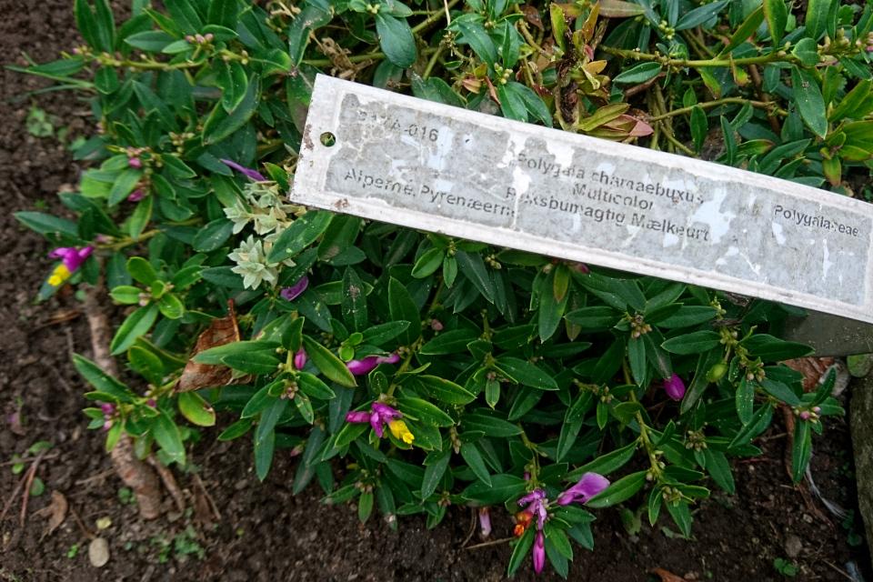 Истод самшитовидный (дат. Buksbommælkeurt, лат. Polygala chamaebuxus). Фото 18 сентября 2021, Ботанический сад, г. Орхус, Дания