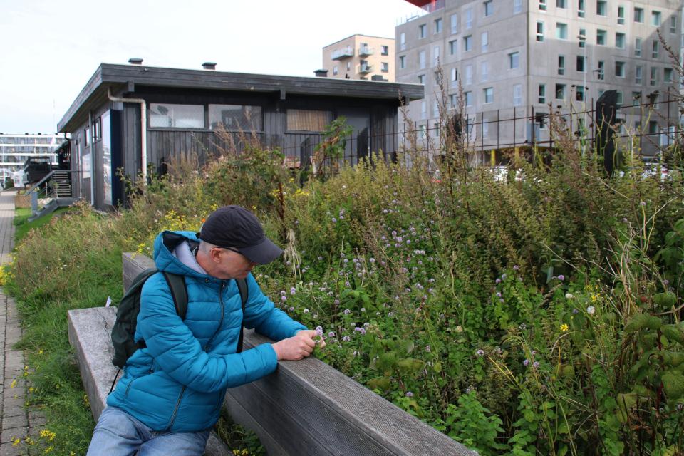 Мята. Орхус Доклендс 29 сентября 2021 (Aarhus Ø), Дания