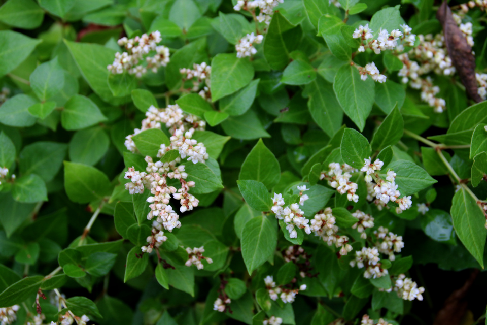 Соцветия горца (лат. Polygonum conspicuum). Ботанический сад Орхус 18 сентября 2021, Дания