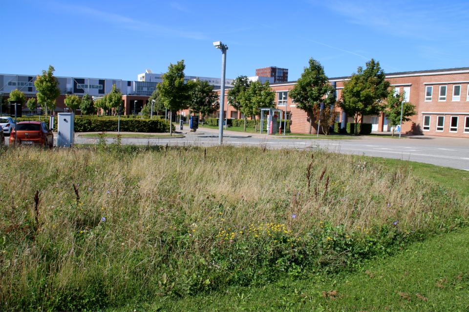 Нескошенный газон. Форум - день открытых дверей (Forum - Åbent Hospital), Университетская больница Орхус, Дания. Фото 5 сент. 2021