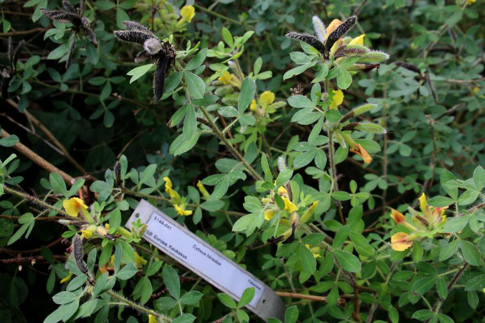 Ракитник волосатый в ботаническом саду, г. Орхус, Дания. Фото 18 сентября 2021, Дания