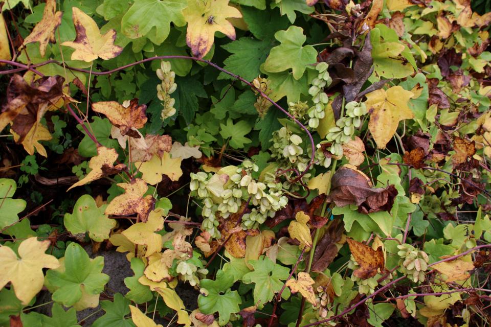 Диоскорея ниппонская с плодами ботаническом саду, г. Орхус, Дания. Фото 18 сентября 2021, Дания