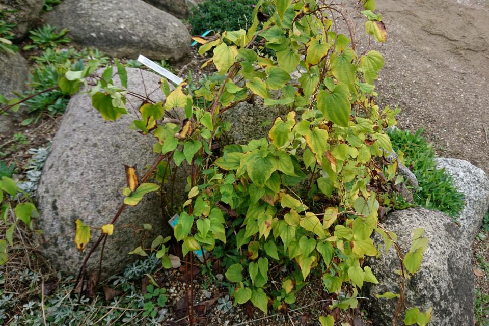 Диоскорея мохнатая в ботаническом саду, г. Орхус, Дания. Фото 18 сентября 2021, Дания