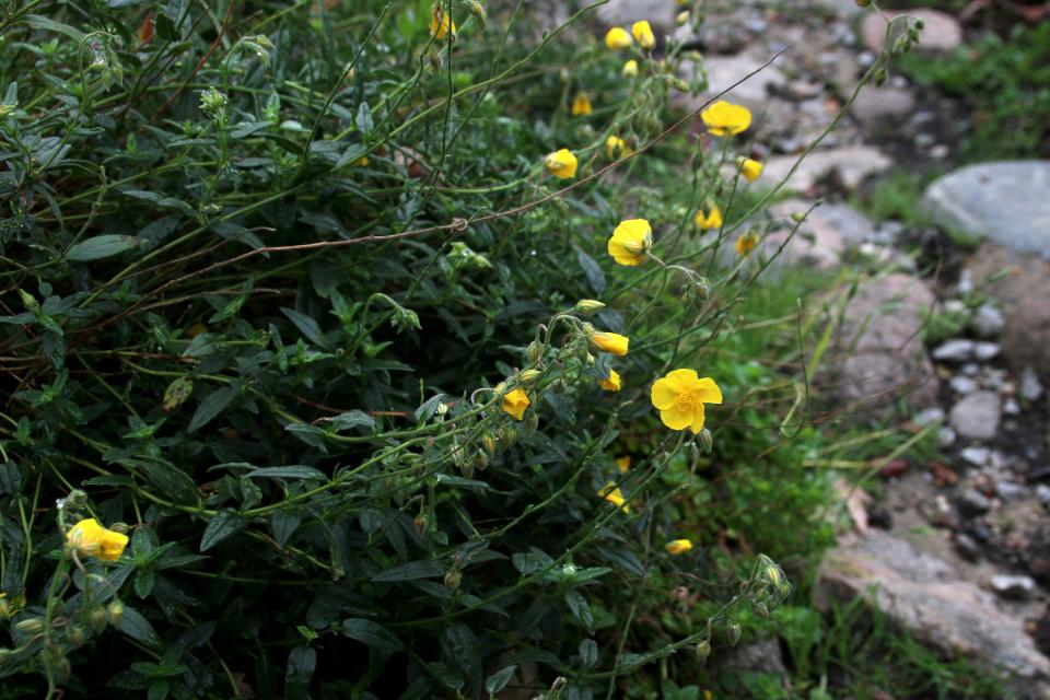Цветы зверобоя восточного. Фото 18 сентября 2021, Ботанический сад, г. Орхус, Дания