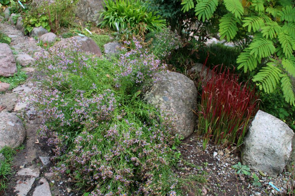 Астры (Aster popovii) и императа цилиндрическая в ботаническом саду, г. Орхус, Дания. Фото 18 сентября 2021, Дания