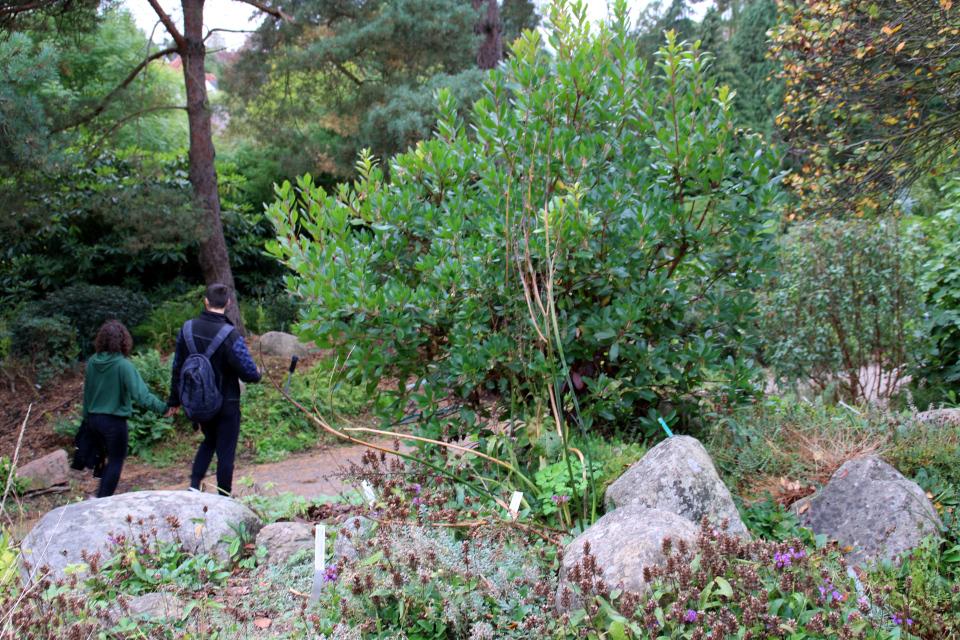 Земляничное дерево в ботаническом саду, г. Орхус, Дания. Фото 18 сентября 2021, Дания