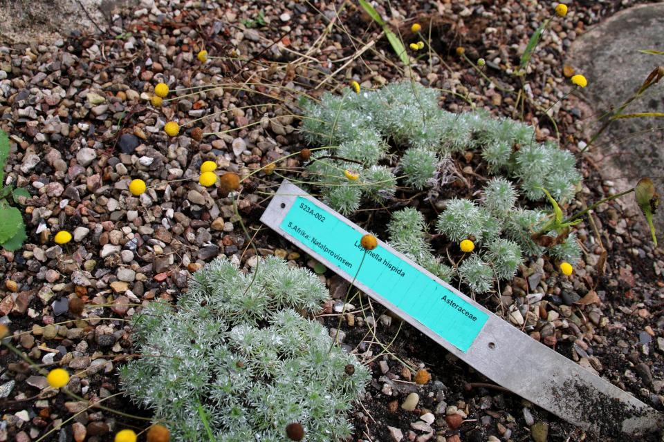 Лептинелла в ботаническом саду, г. Орхус, Дания. Фото 18 сентября 2021, Дания
