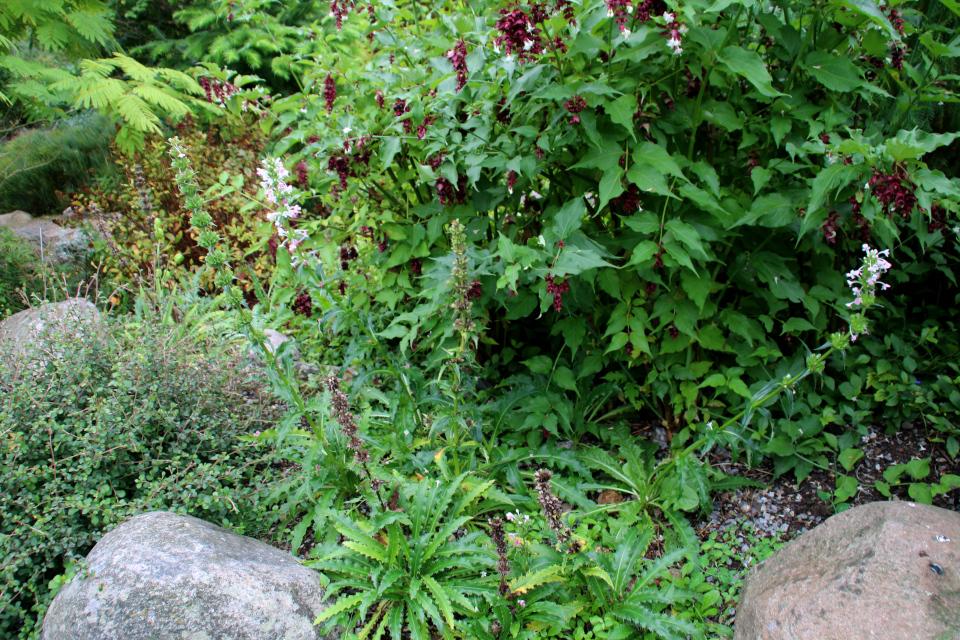 Лейцестерия прекрасная и Морина длиннолистная. Фото 18 сентября 2021, Ботанический сад, г. Орхус, Дания