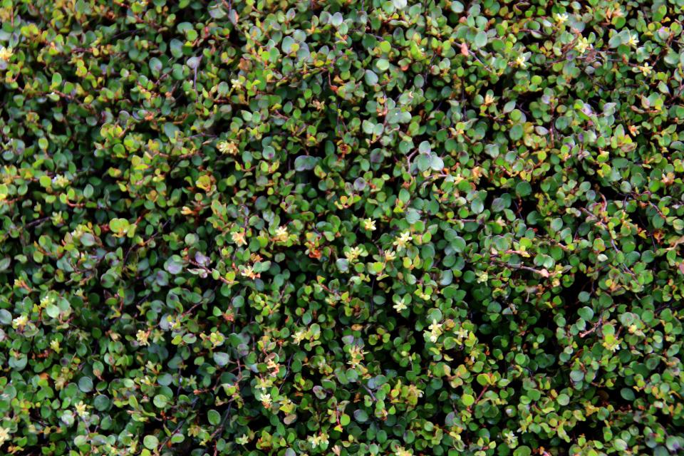 Мюленбекия спутанная - цветочки. Ботанический сад, г. Орхус, 18 сентября 2021, Дания