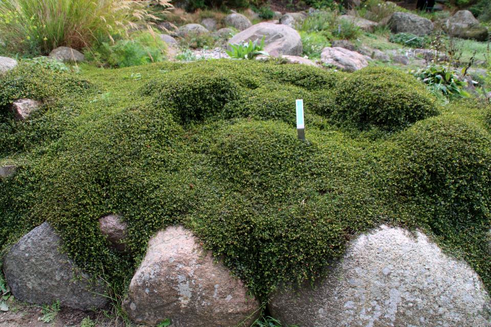 Цветущий зеленый ковер - Мюленбекия спутанная. Ботанический сад Орхус 18 сентября 2021, Дания