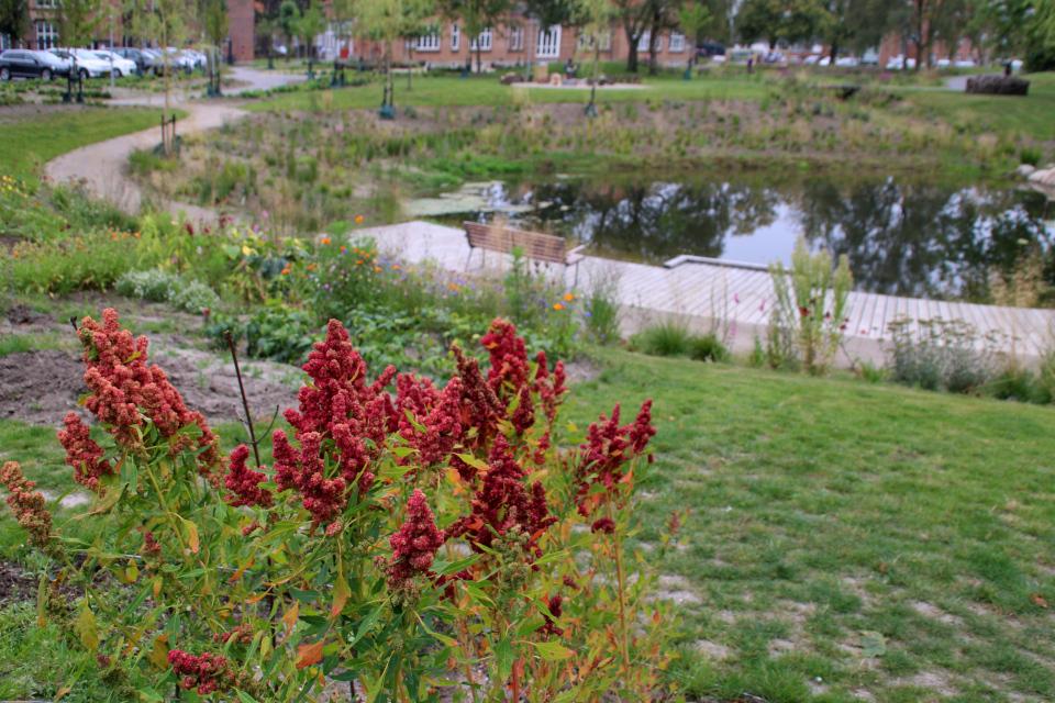 Киноа (дат. Quinoa, лат. Chenopodium quinoa). Городские огороды. Дождевой парк Спарк (Spark rain park, Marselisborg center), Орхус, Дания. Фото 2 сент. 2021