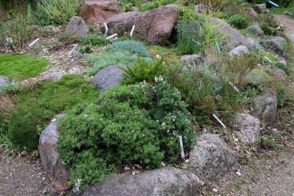 Чабер в ботаническом саду, г. Орхус, Дания. Фото 18 сентября 2021, Дания