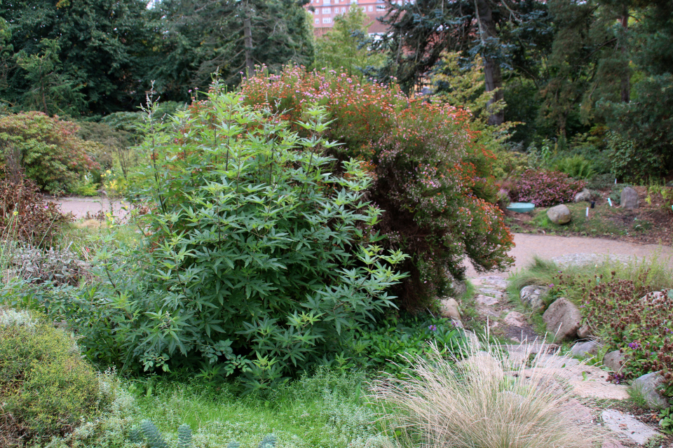 Прутняк обыкновенный в ботаническом саду, г. Орхус, Дания. Фото 18 сентября 2021, Дания