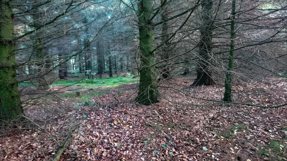 Ель ситхинская (дат. Sitkagran, лат. Picea sitchensis), плантация Мангехойе (Mangehøje). Фото 25 сент. 2021
