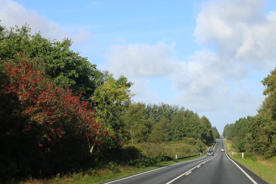 Рябина обыкновенная (дат. Røn, лат. Sorbus Aucuparia), плантация Мангехойе (Mangehøje). Фото 25 сент. 2021