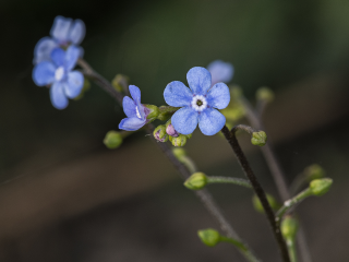 Brunnera macrophylla © Ann Bonte