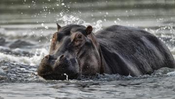 Nijlpaardje 1 © Eric Colpaert